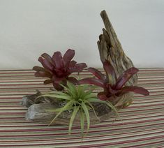 Aged Cedar Wood Table Centerpiece Live Bromeliad Plants and Air Plant Driftwood Centerpiece, Driftwood Planters, Tropical Patio, Tropical Plants, Tropical Centerpieces, Table Centerpieces, Porch Area, Cedar Wood, Live Plants