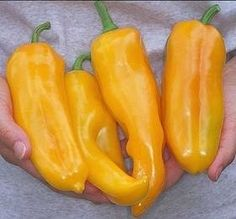 Pase Seeds - Pepper Seed - Sweet Marconi Golden Seeds, $3.49 (http://www.paseseeds.com/pepper-seed-sweet-marconi-golden-seeds/)