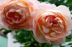 (Not) basit bahçeler: güller