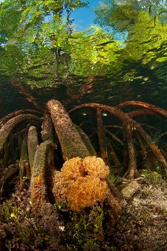 Mangrove roots and soft coral, Raja Ampat Islands, Indonesia