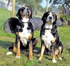 Greater Swiss Mountain Dog / Grosser Schweizer Sennenhund / Grand Bouvier Suisse / Appenzeller Sennenhund / Entlebucher Sennenhund