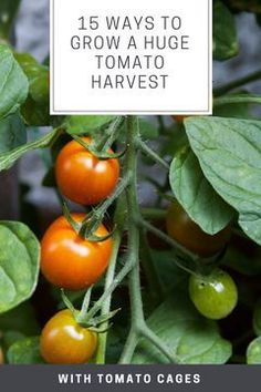 15 Ways to Grow a Huge Tomato Harvest. The key to having healthy tomatoes and getting a bountiful crop is tomato plant support. Check out these space-saving ideas on how to use a tomato cage or trellis to make the most of your space - and your harvest. Cough Remedies, Herbal Remedies, Health Remedies, Diarrhea Remedies, Natural Medicine, Herbal Medicine, Natural Cold Remedies, Tomato Cages, Trellis