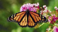 How to Grow Butterfly Weed (Asclepias) | eHow