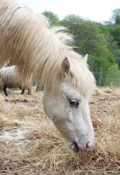 Gandalf #DartmoorPony