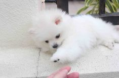 TOP 44 Pomeranian Puppies