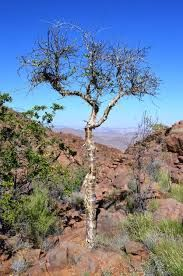 Commiphora Capensis            Namaqua Commiphora/Corktree                Namakwakanniedood        4 m       Google