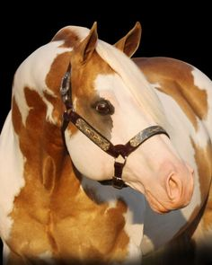 Invested By Far - Palomino Quarter Horse Stallion