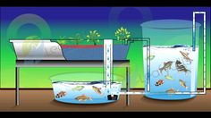 CHOP stands for, Constant Height One Pump and it is a popular system for using aquaponics. This system uses the fish tank overflow to fill the grow beds.  ... #Aquaponics #Hydroponics
