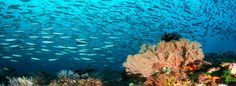 WA reef scene with schooling fish  Several fish choruses have been recorded in Western Australia, as part of a BHP Billiton Iron Ore Environmental monitoring program.  #particle #earth #green #eco #ourplanet #planet #green #perth #WA #thisisWA #westernaustralia #perthisok #perthcity #PerthWA