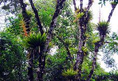 site de las Bromelias nativas en Brasil - Pesquisa Google