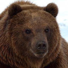 Kamtschatka Bear/ Eastern Brown Bear.