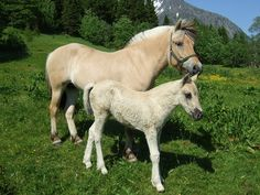 Fjord horses sweet baby