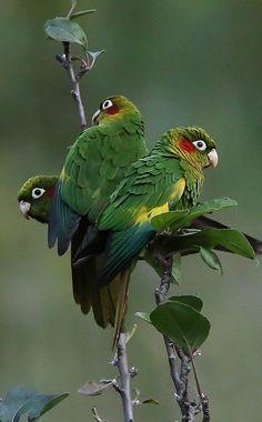 "Robert says a most ""fine""trio indeed! Most Beautiful Birds, Pretty Birds, Cute Birds, Animals Beautiful, Cute Animals, Colorful Parrots, Colorful Birds, Tropical Birds, Exotic Birds"