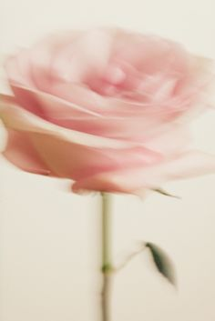 #fleurs #rose
