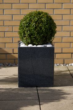 Buxus Sempervirens round shaped