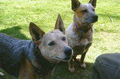 Sheba and Quinn Australian cattle dog Hebron CT