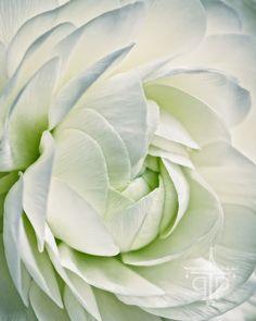 Sarah Hollander White Ranunculus #1