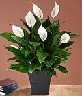 How to care for peace lily; one of the best air cleaning plants