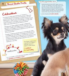 This breed may be small, but they pack an awful lot of spunk & personality! Check out our Featured Breed Profile on the Chihuahua in the latest edition of fetch! magazine.