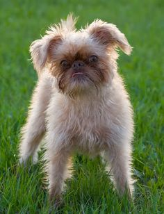 White Brussels Griffon Dog