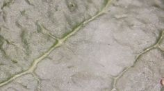 A rose leaf photo taken with USB Digital Microscope