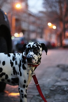 I love dalmations! Mum had one called Terry when she was younger :)