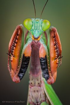 Photograph Mantis defense pose by Marco Fischer on 500px