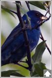 indigo bunting...the first time I saw one of these, I thought someone's parakeet had escaped!!!  ha ha ha