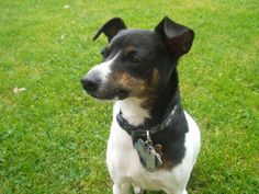 fox terrier | Descrizione Riley, Fox Terrier.JPG