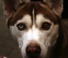 A gorgeous white and sable Alaskan Malamute Chimeran dog with different eye color. This is called  Chimera dog.