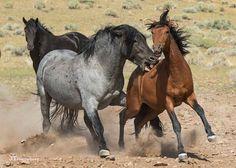 Wild horses in Nevada. Wild horses in Nevada. Wild horses in Nevada. Wild horses in Nevada. Beautiful Arabian Horses, Majestic Horse, Cute Horses, Horse Love, Horse Photos, Horse Pictures, Horse Markings, Nevada, Wild Mustangs