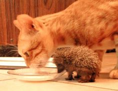 sharing is caring meow - The cat and the baby Hedgehog.