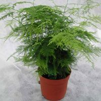 Asparagus Fern, also called Bride's Bouquet Fern or Lacefern (Asparagus setaceus, also Asparagus plumosus)- to 4 feet tall, This lacy plant has flattened sprays of bright-green leaves. Its branches are widely used by florists as filler in floral bouquets. Container Gardening, Gardening Tips, Asparagus Plant, Ferns Garden, Most Beautiful Gardens, Rare Flowers, Foliage Plants, Bride Bouquets, Floral Bouquets