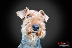 """Airedale Terrier Portrait"" by Manuel und Nadine MN Photography, via 500px."