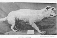 Kuri - This breed was brought to New Zealand from Polynesia in the 14th century. When the French explored the island in the 18th century, they wrote about how ugly and stubborn they were. Not surprisingly, the French felt no need to preserve them (not withstanding the bad taxidermy job).
