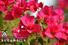Bougainvillea, Flowers, Plants, About Plants, Climber Plants, Trees And Shrubs, Flowering Plants, Forests, Vertical Vegetable Gardens