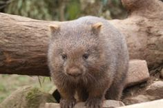 little wombat with whiskers Wombat, Rock Pools, Tasmania, Brown Bear, Great Photos, Wildlife, Tours, Pictures, Australia