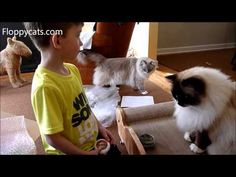 Ragdoll Cats Receive Brawny Cat Big Sleeky Comfort Throne for Review - F...