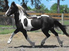 Americus ROF - pinto Friesian Sporthorse stallion by Nico