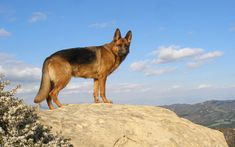 German Shepherd Awesome High Quality HD Wallpapers ... German Shepherd Wallpapers and Backgrounds and download them on all your devices, Computer, Smartphone, Tablet....