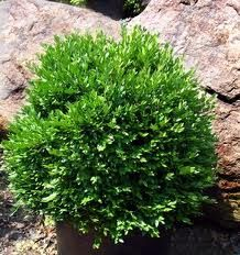 Replace Winter-Ruined Boxwoods and Plant New in Back