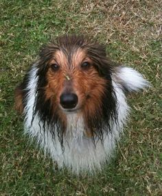 Sheltie Nation - Not Such a Hot Idea?