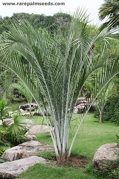Palm Trees Landscaping, Florida Landscaping, Florida Gardening, Tropical Landscaping, Front Yard Landscaping, Palm Garden, Garden Trees, Tropical Garden, Tropical Plants