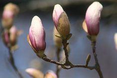 Magnolia, Cherry Blossoms of Spring