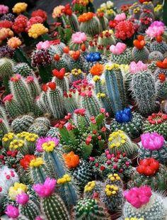 bonita seleccion de cactus de colores