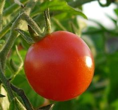 How to Grow the Tomato and 115 Ways to Prepare it for the Table