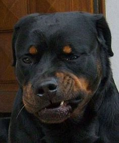He looks like the Elvis Rottweiler with the lip thing going on! Ha!