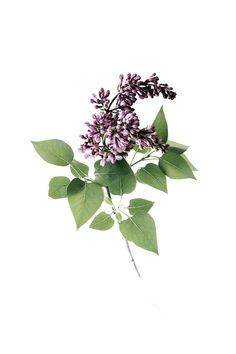 lilac branch | STILL (mary jo hoffman)