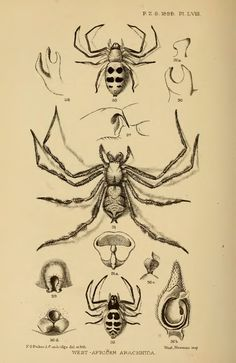 On the scorpions, pedipalps and spiders from tropical West-Africa, represented in the collection of the British Museum - BioStor