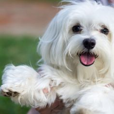 These little breeds may not shed or bark, but unfortunately, you won't be able to get them to clean up their dirty dishes either. Large Dog Breeds, Best Dog Breeds, Best Dogs, Dog Best Friend, Dog Friends, Maltese Dog Breed, Maltese Puppies, Cute Puppies, Dogs And Puppies